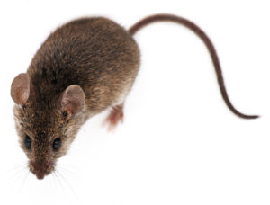 5 Facts You May Not Know About Mice | Moxie Pest Control