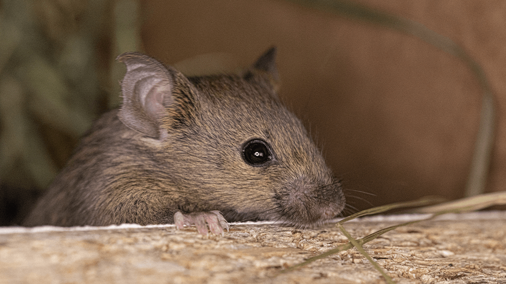 5 Facts You May Not Know About Mice