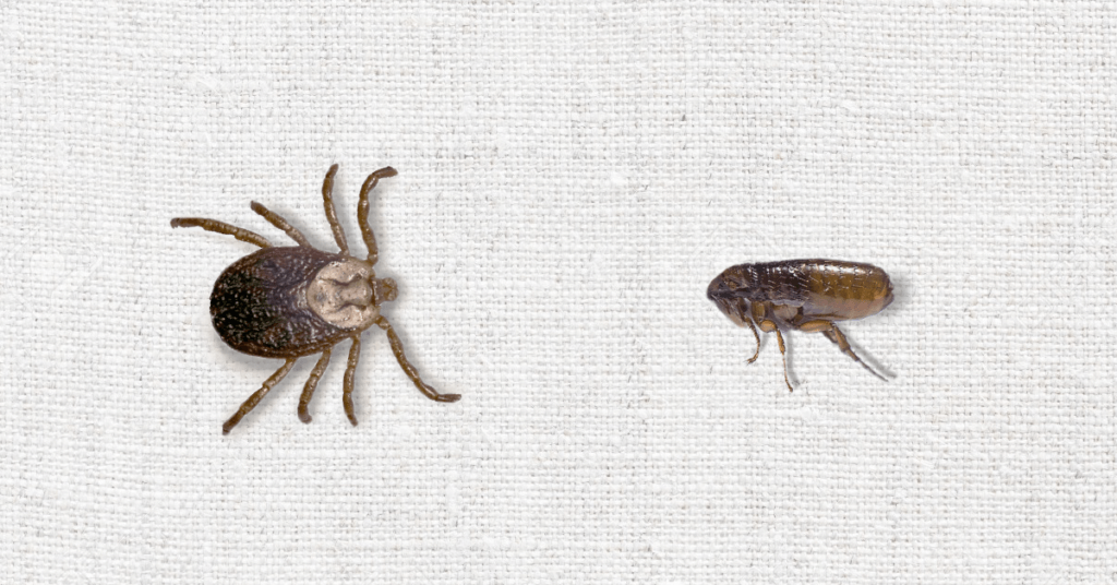 Tiny Invaders: Telling the Difference Between Fleas and Ticks