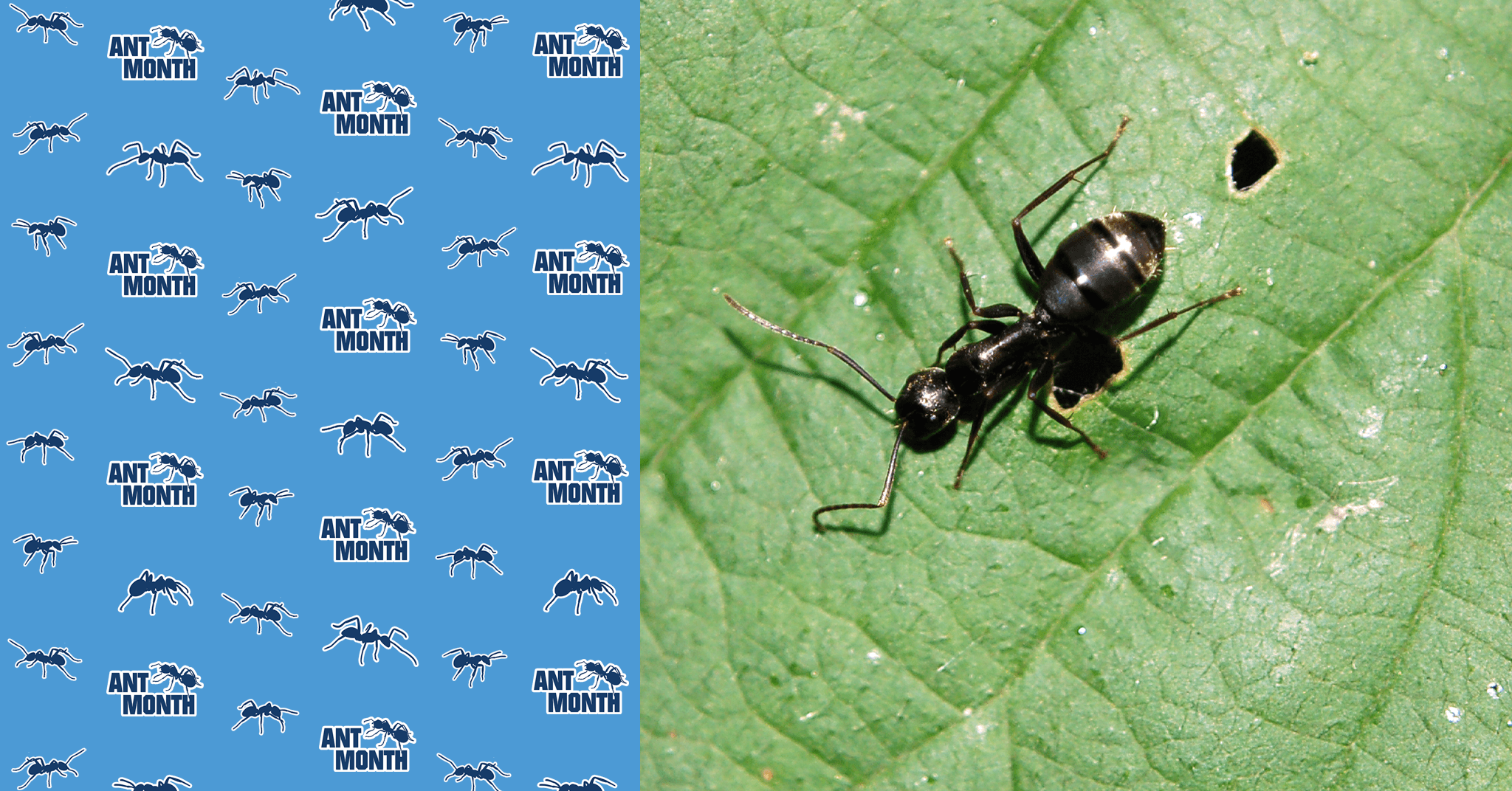 ANT MONTH: All About… Argentine Ants
